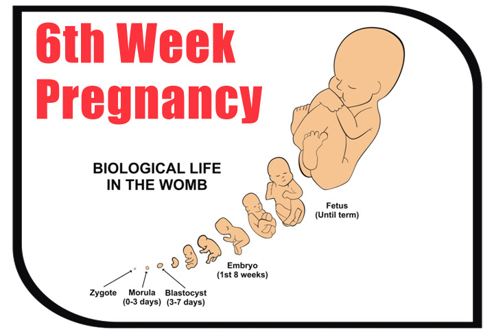 6th Week Pregnant Symptoms Baby Development And Body Changes