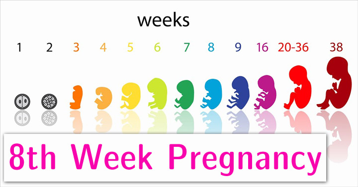 8th-Week-Pregnancys