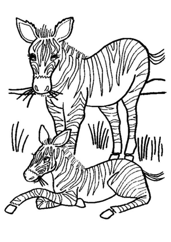 The-zebra-Grass