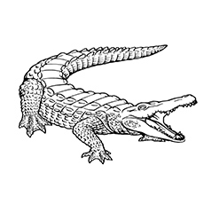 Alligator Coloring Page Shout