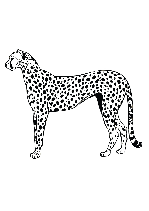 Cheetah-gepard