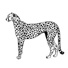 Cheetah-gepard