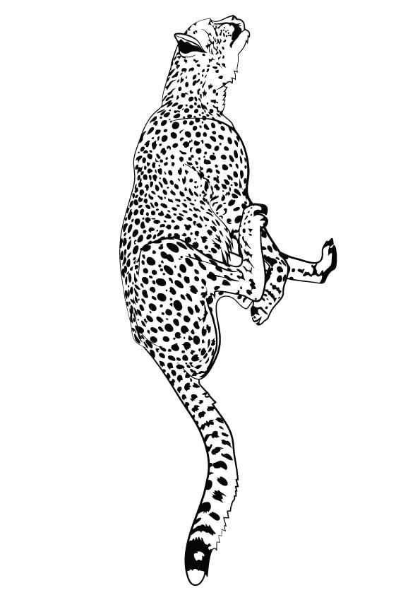 Fast-running-cheetah