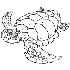 The Flatback Turtle