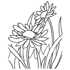 The-daisies-in-full-bloom