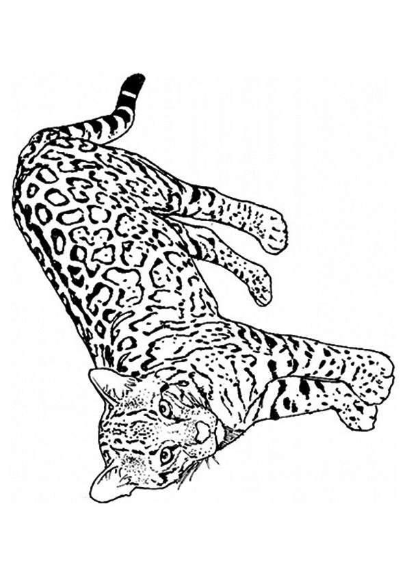The-differentiate-leopard-from-cheetah