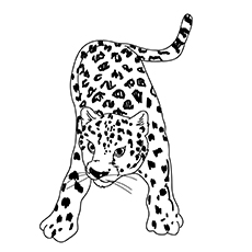 The Leopard Roring