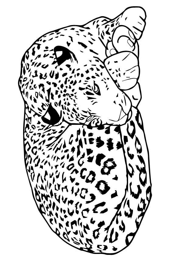 The-leopard-sleeping