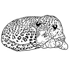 The-leopard-sleeping