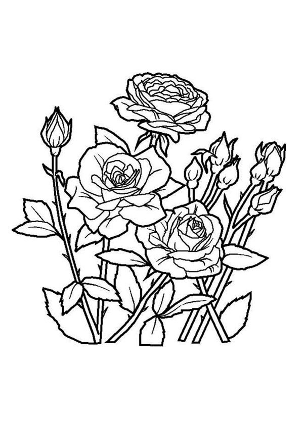The-spring-rose
