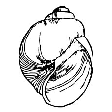 big-size-shell