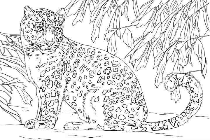 Animal Jam Coloring Pages Snow Leopard : Pictures leopard colouring pages