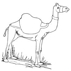 standing-camel
