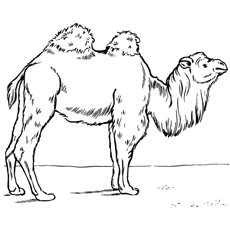 two-humped-camel