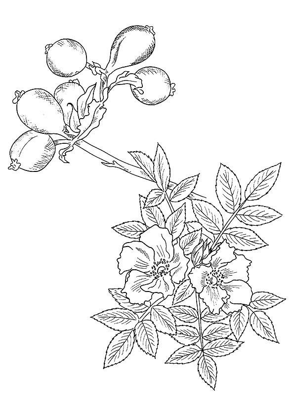 A-wild-rose