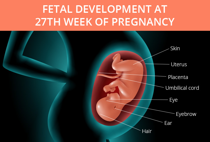 Baby Development At 27 weeks