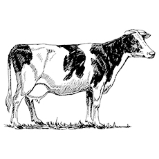Coloring Page Jersey Cow
