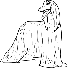The-afghan-hound