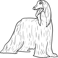The-afghan-hound
