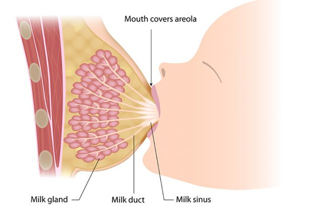 How Is Breast Milk Produced-5680