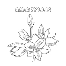 Amaryllis coloring pages