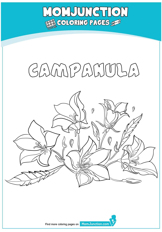 Campanula-18