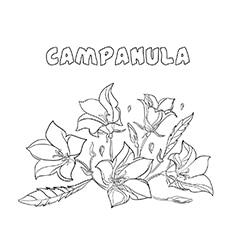 Campanula coloring images