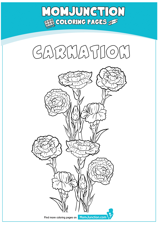 Carnation-18