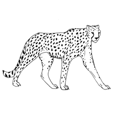 Cheetah-blackdot