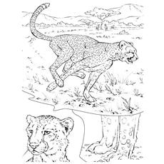 Cheetah-runing