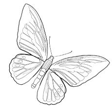 Image of Goliath Bridwing Butterfly for Kids to Color