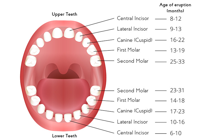 Primary Teeth's Order Of Appearance