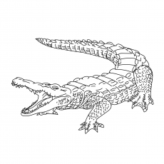 The Broad Snouted Caiman