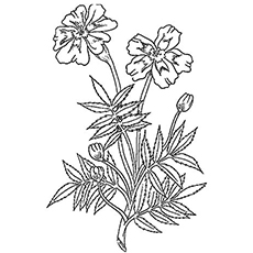 The Marigold Coloring Pages