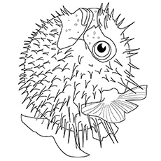 The-Puffer-Fish
