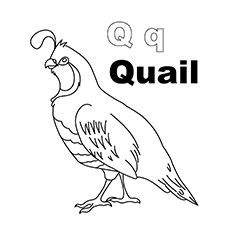 The Q For Quail