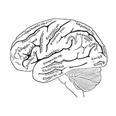 Human Brain Anatomy Coloring Pages