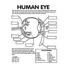 Human Eye Anatomy Worksheet Coloring Pages