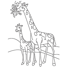 Pictures of Giraffe And Calf Eating Leaves Coloring Pages