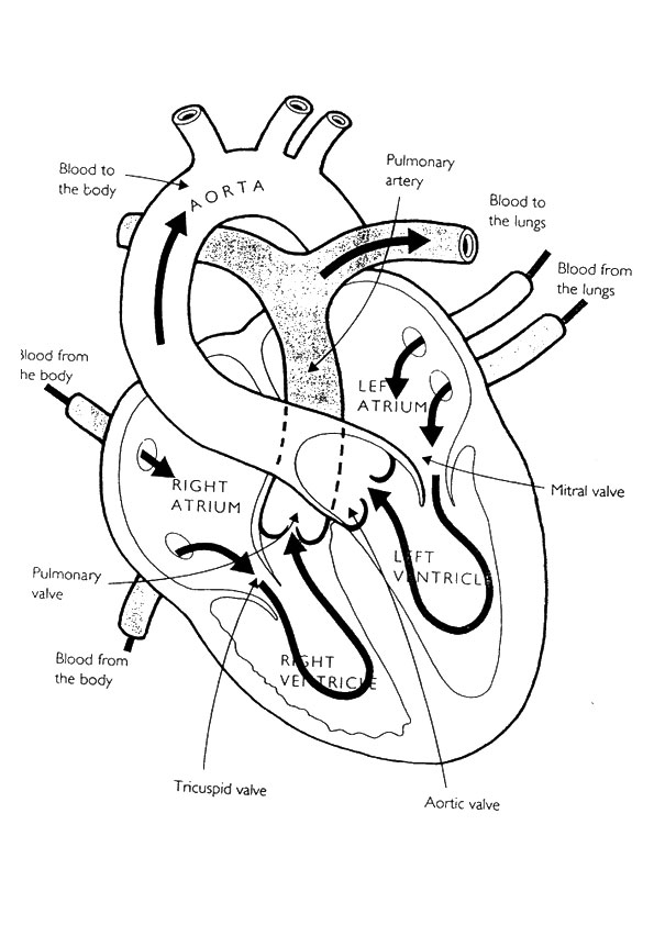 The-Heart-Anatomy