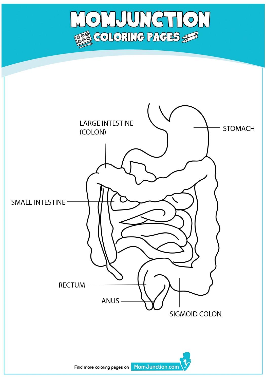 The-Intestine-Anatomy-16-12