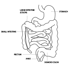 The Intestine Anatomy