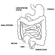 The Intestine Anatomy