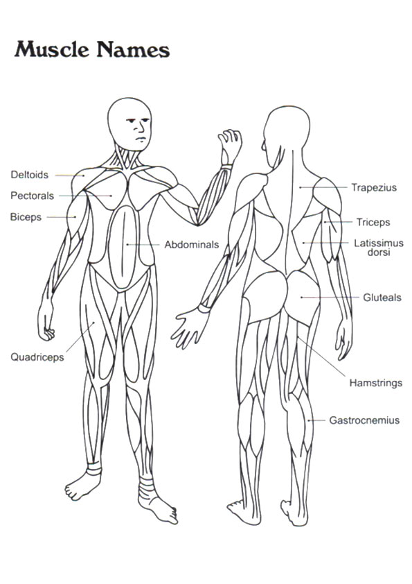 The-Muscle-Anatomy