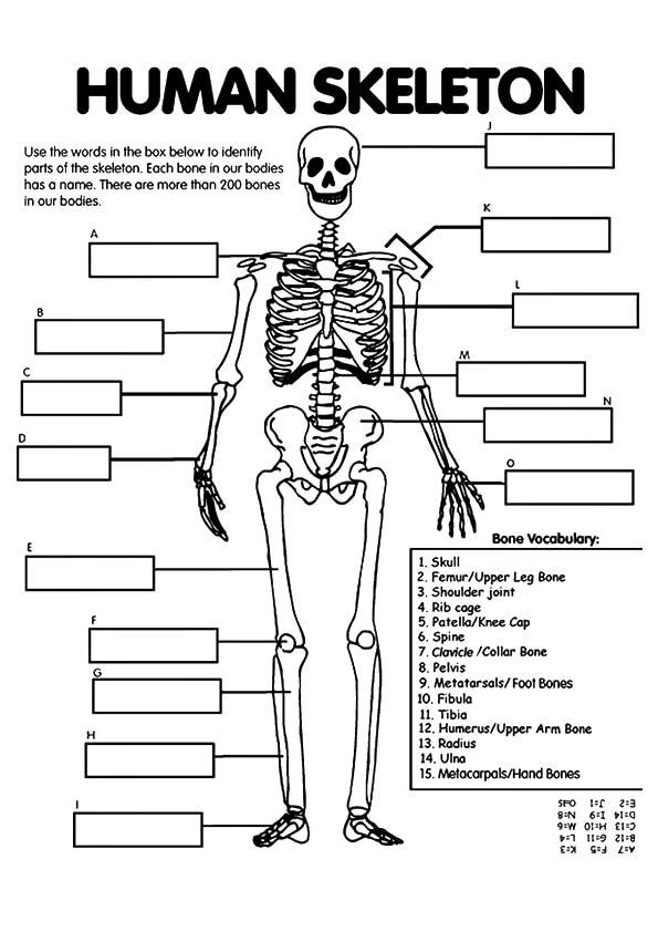 The-Skeletal-System