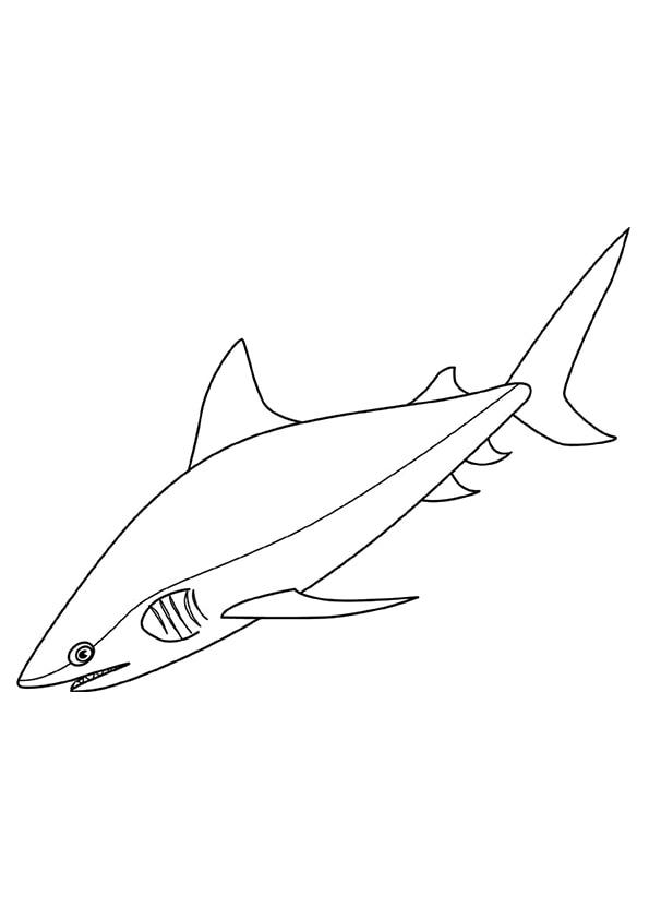 Bull-Shark