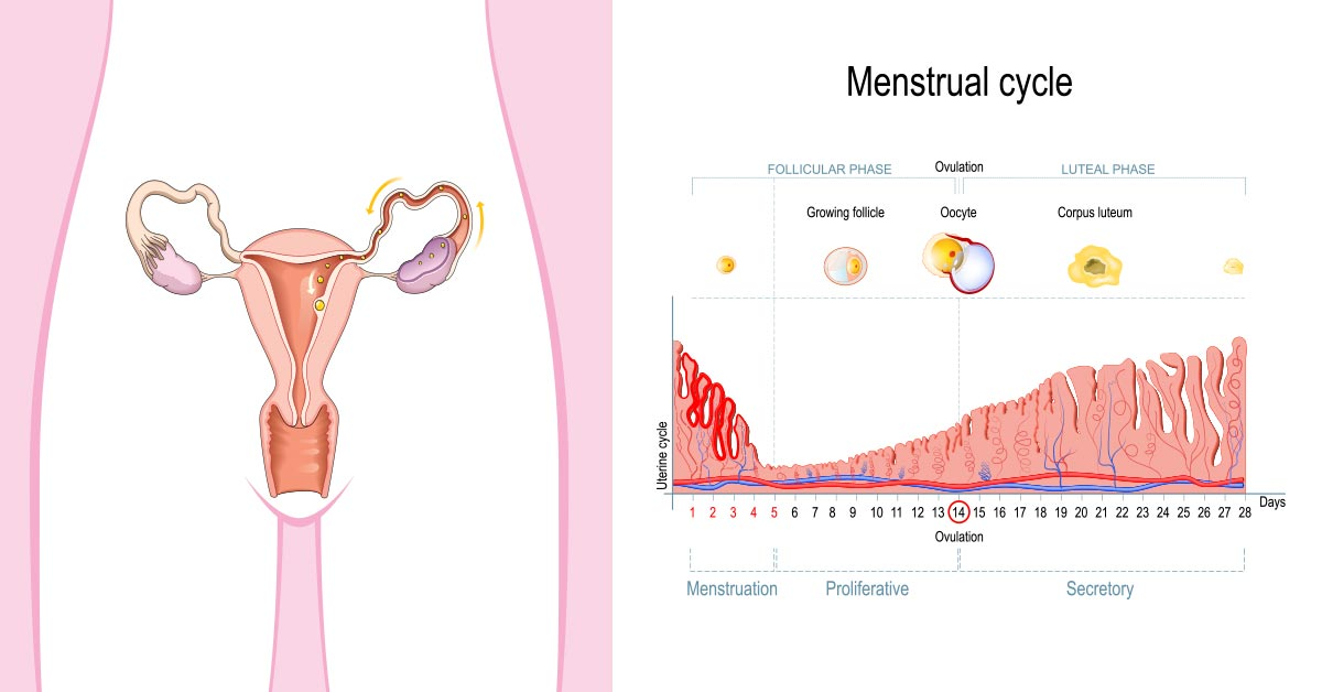 Can You Ovulate More Than Once A Month Or Cycle-6165
