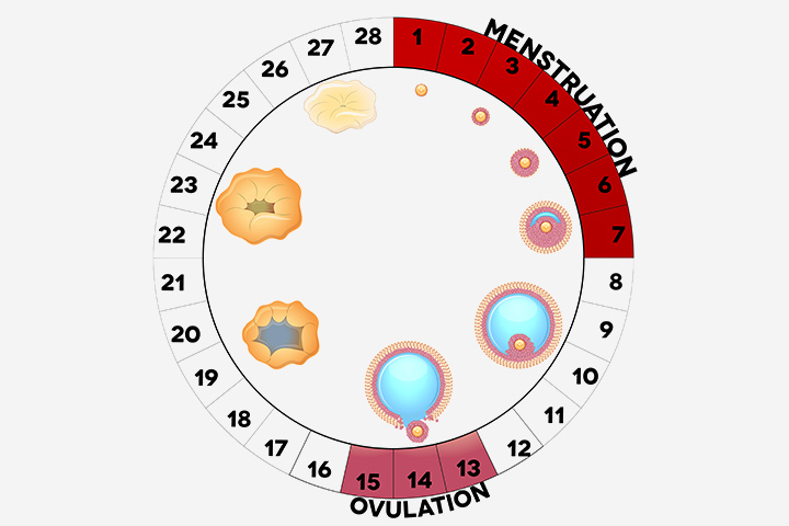 Can You Ovulate More Than Once Per Month Or Cycle