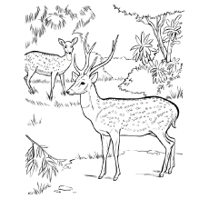 chital deer cute deer sheet to color