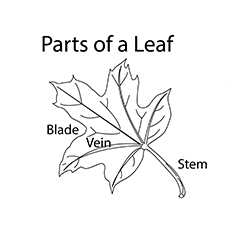 Parts Of A Leaf Coloring Pages Free Printable